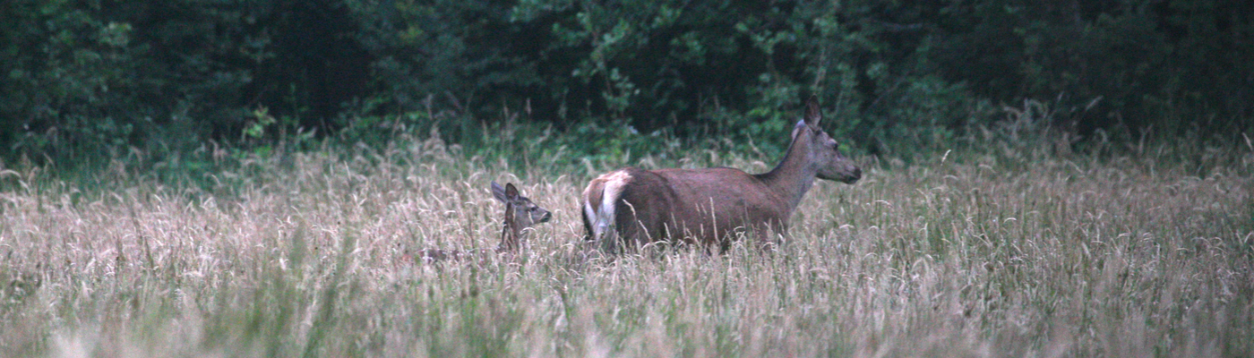 Edelherten in Het Groene Woud. Foto: Mark Kapteijns/Brabants Landschap