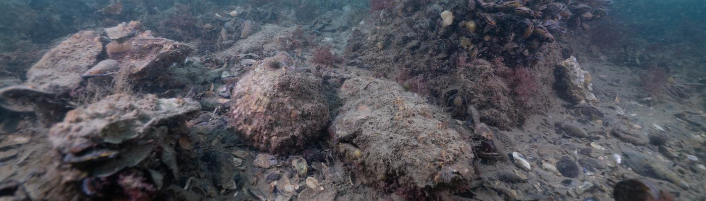 Schelpdierbank Voordelta, foto: Onderwaterbeelden