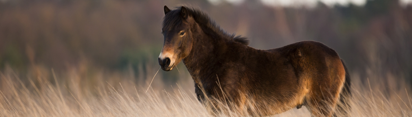 Exmoor paard op de Loozerheide. Foto: Bob Luijks