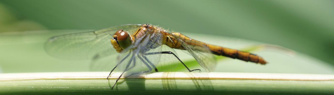 Beekoeverlibel