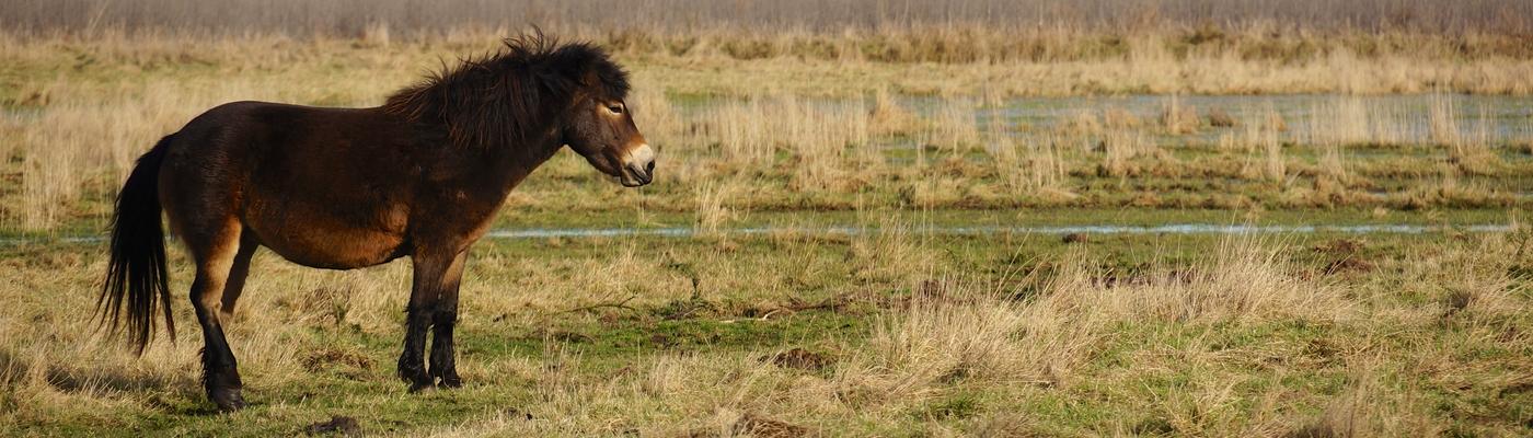 Exmoor pony Loozerheide