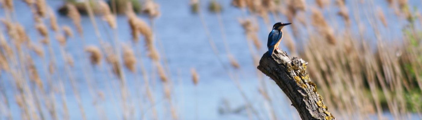 IJsvogel kempen~Broek, foto Frans Stultjens