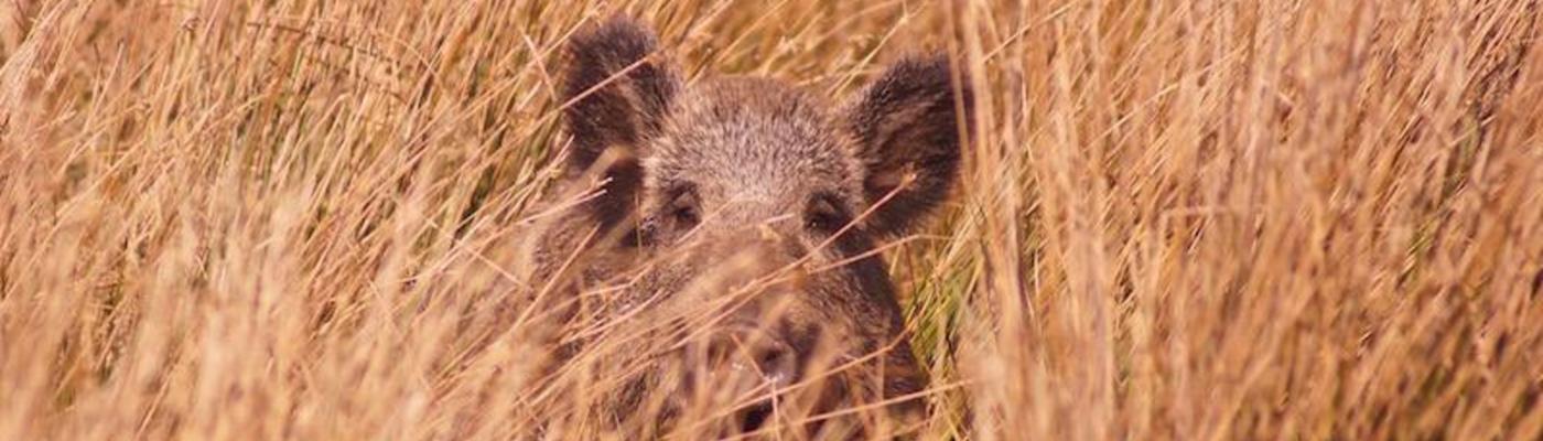 Wild Zwijn. Foto: Theo van der Heijden