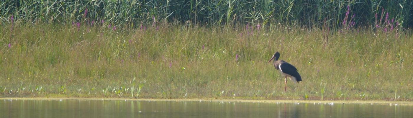 Zwarte ooievaar, foto: Theo van der Heijden