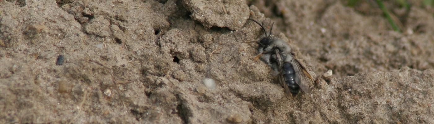 Een grijze zandbij in een stierenkuil.