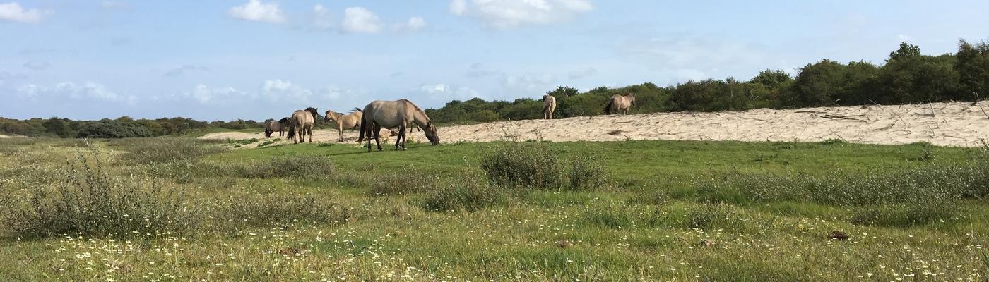 Konikpaarden begrazen duinvallei Oranjezon. Foto: Esther Linnartz, FREE Nature