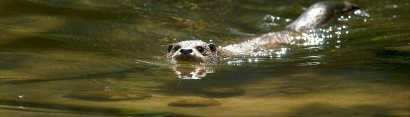 Otter, foto: Hugh Jansman