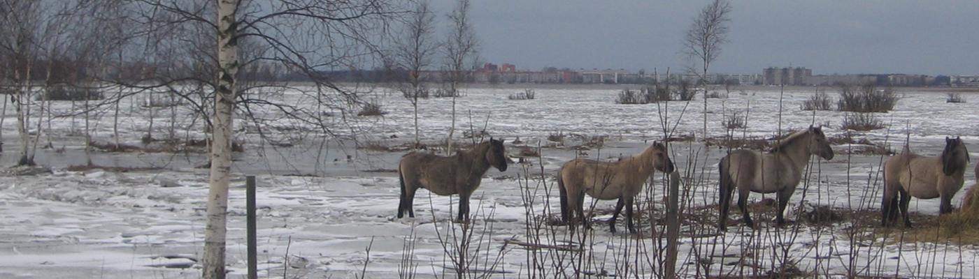 Konikpaarden in Letland verdreven door hoogwater en ijsgang
