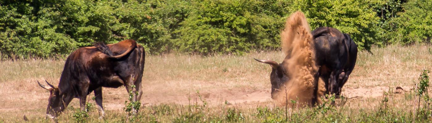 Zonder stierenkuilen van de taurosstieren en zandbaden van de wisenten en paarden geen kale grond in de natuur van de Maashorst en dus geen zandbijen.