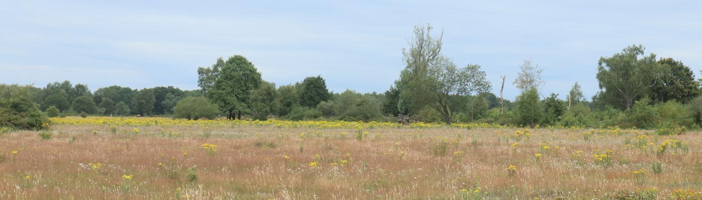 Niet verdroogd bloemrijk grasland in de Maashorst met uitgegroeid en uitgebloeid gras.