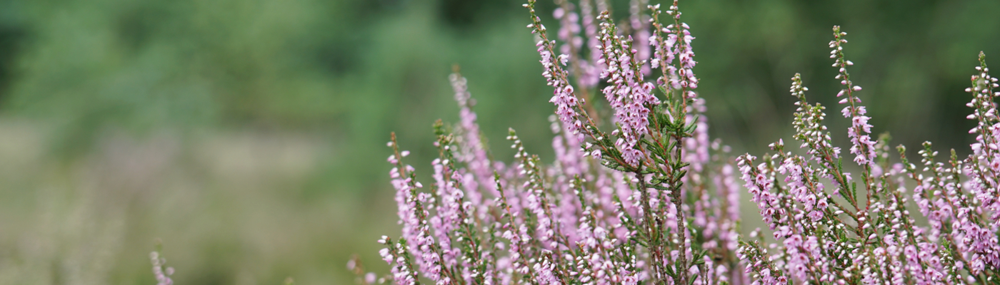 Struikhei bloeiend op de Maashorst