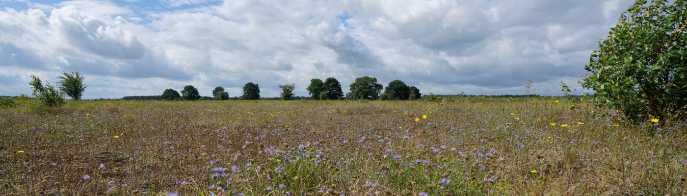 Maashorst in bloei