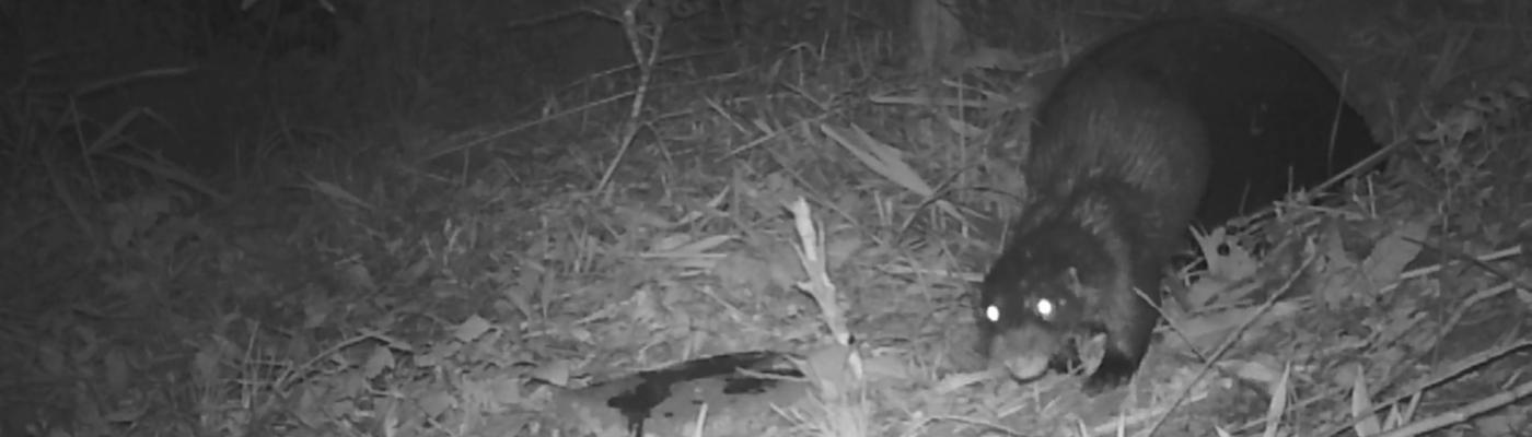 Een otterman rent terug naar het water nadat hij zijn geur heeft achtergelaten op een stoeptegel.