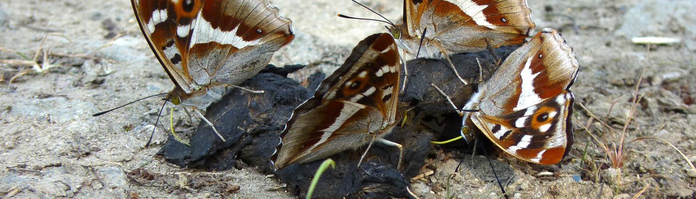 Grote weerschijnvlinders op poep. Foto: Matthew Oates