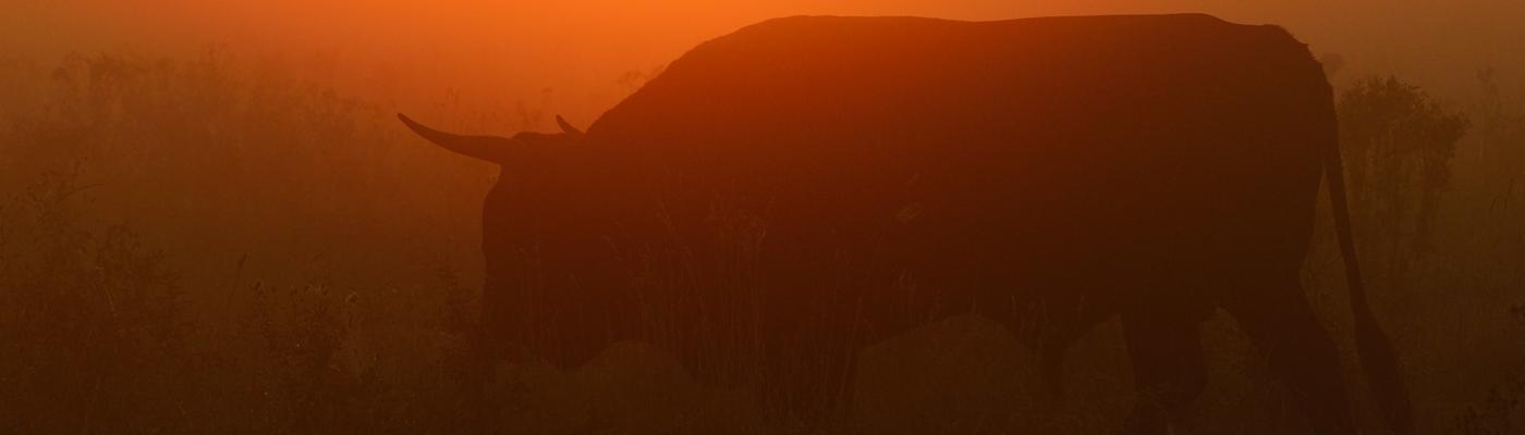 Tauros Keent Foto Staffan Widstrand - Rewilding Europe
