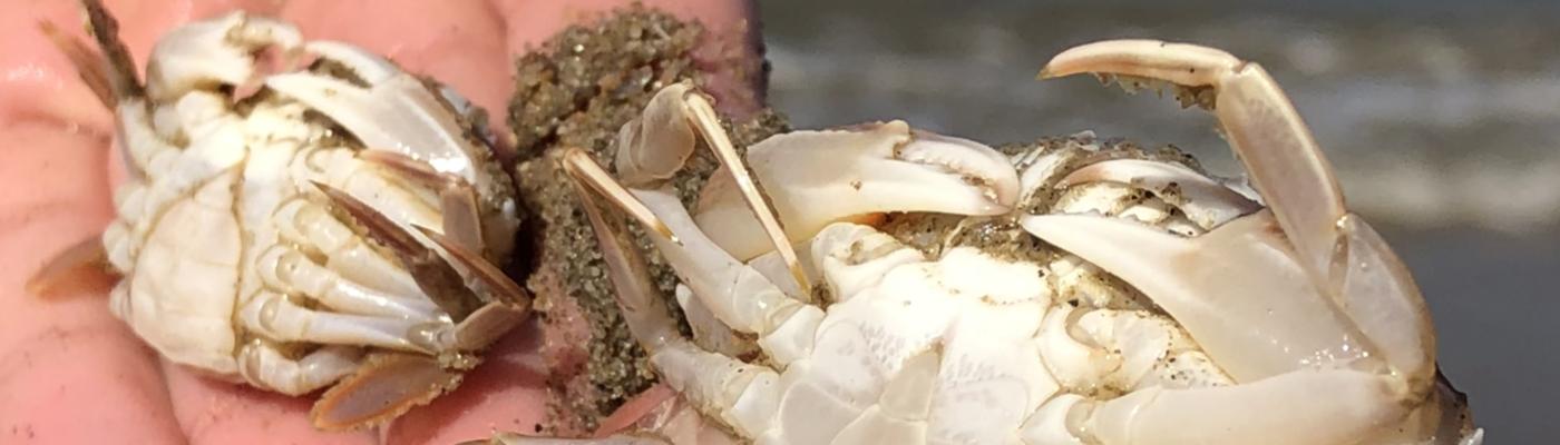 Twee krabben in de hand