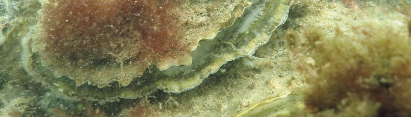 Platte oester, foto: Wouter Lengkeek, Bureau Waardenburg