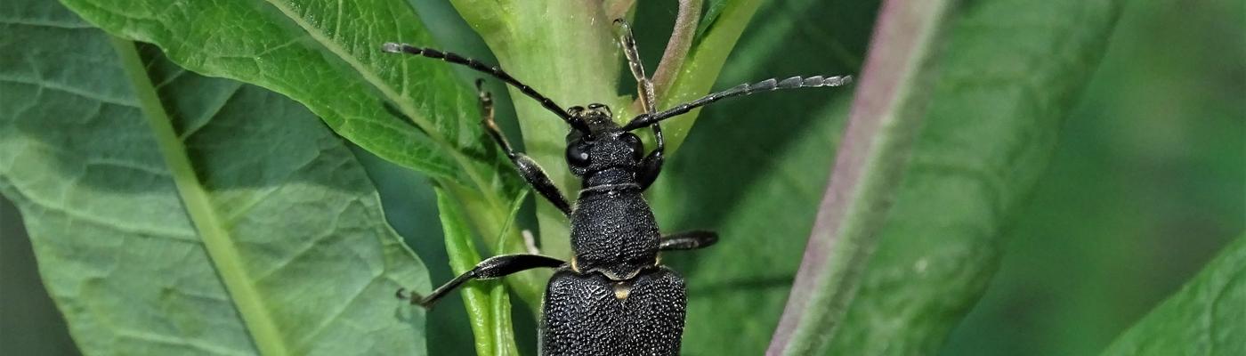 Stictoleptura scutellata op een harig wilgenroosje