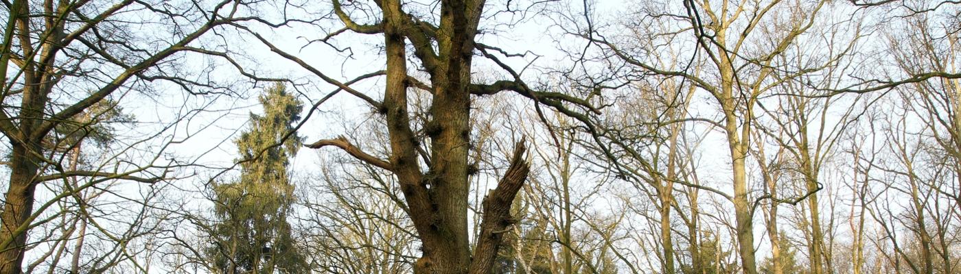 De dikste en oudste eiken op landgoed Velder (foto: Bert Vervoort)