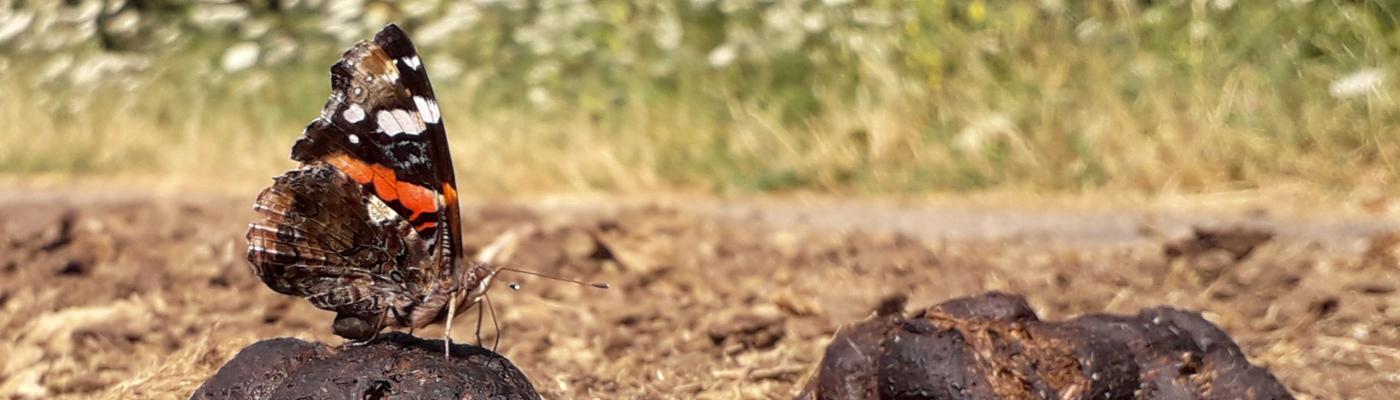 Atalanta op poep van een konikpaard