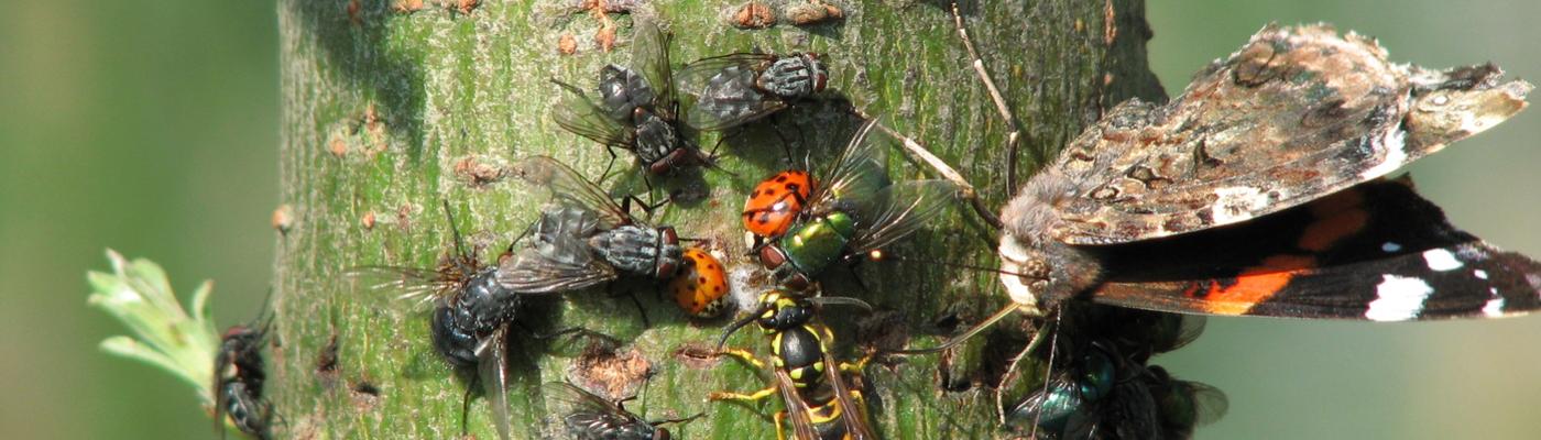 Insecten op bloedende wilg