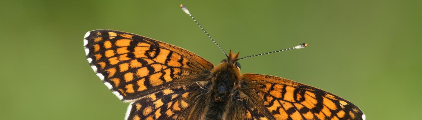 Veldparelmoervlinder. Foto: Kim Huskens