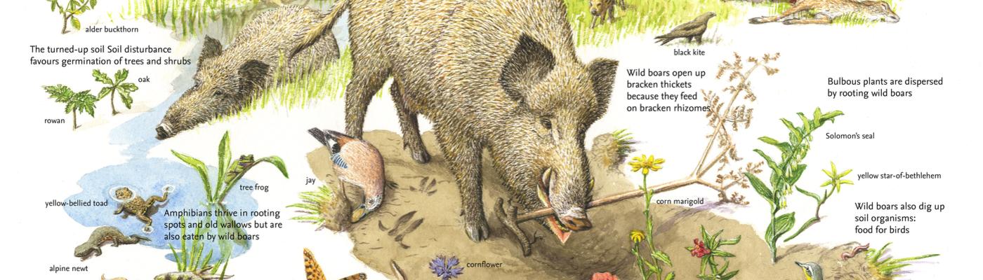 The Wild boar a keystone species