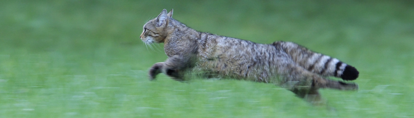Wilde kat. Foto: Fabrice Cahez, Nature in Stock