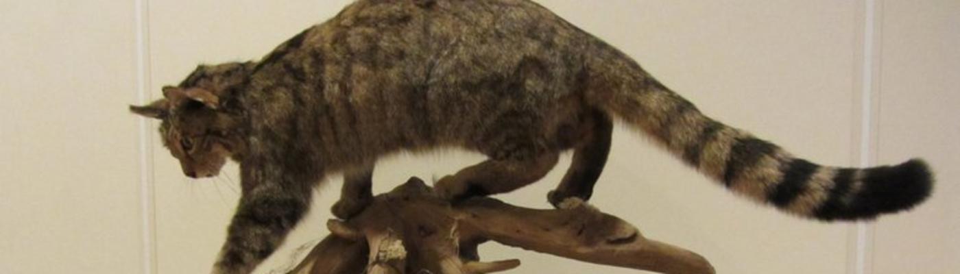 Opgezette wilde kat, foto: Neeltje Huizinga, Zoogdiervereniging