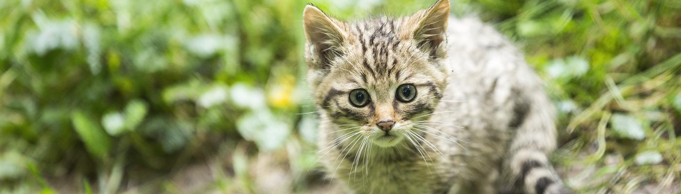 Jonge wilde kat. Foto: Bob Luijks
