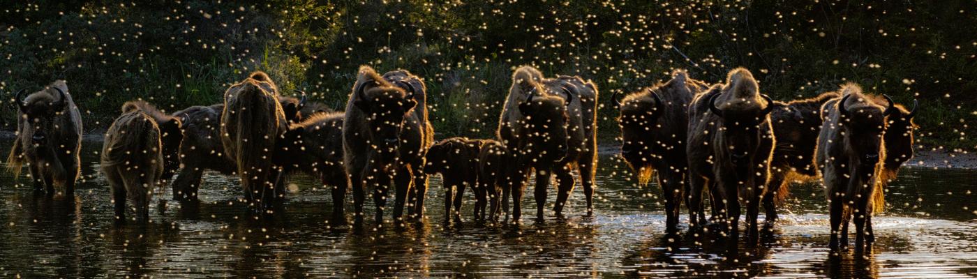 'Dawn of the Bison'. Foto: Jasper Doest