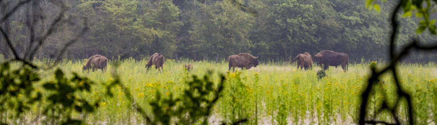Wisenten op de Veluwe. Foto: Nelleke de Weerd, Rewilding Europe