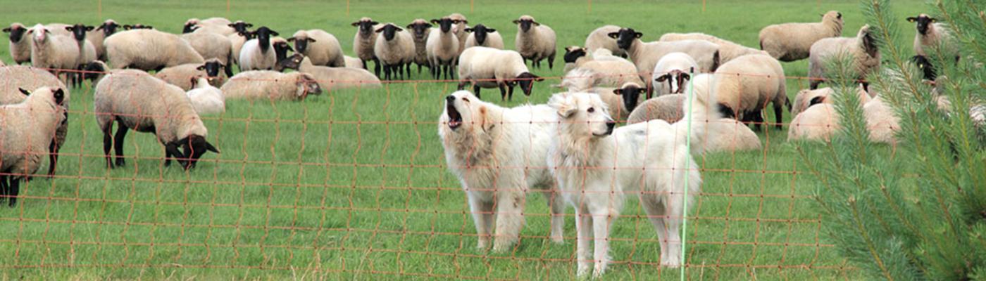 Schapen en kuddewaakhonden