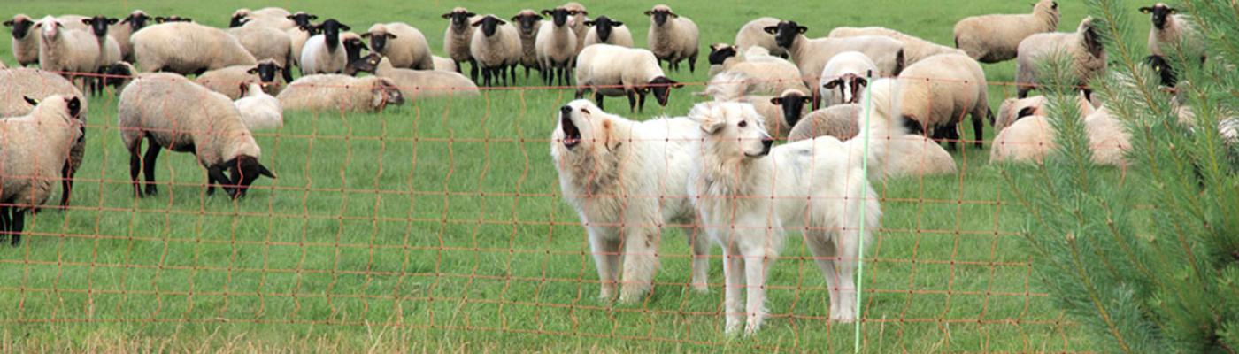 Schaapskudde in een wei met flexinetten en kuddewaakhonden
