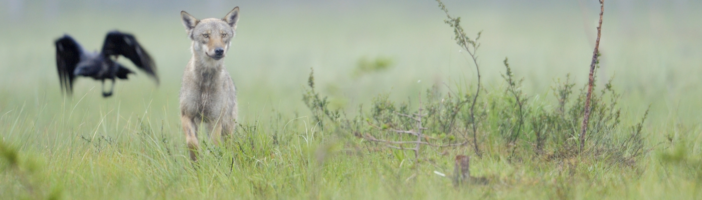 Een voorbeeld van de symbiose tussen de wolf en raven bij een kadaver. Foto: Wild Wonders of Europe