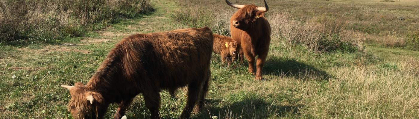 Schotse Hooglanders brengen de Kleine Willemswaard tot leven.