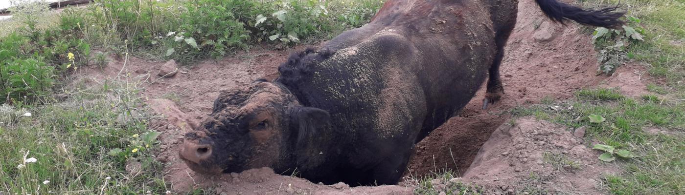 Fanatieke stier in zijn stierenkuil