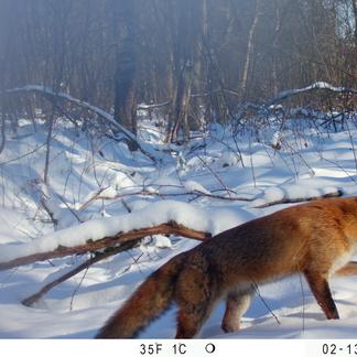 Naast grazers laten ook andere dieren, zoals deze vos, zich regelmatig fotograferen. Foto: Esther Speelman