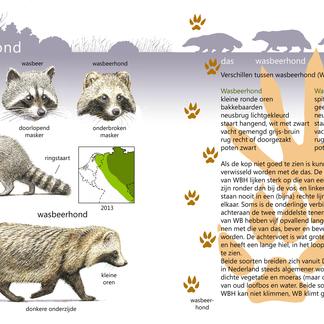 Roofdieren Veldgids Wasbeer en Wasbeerhond