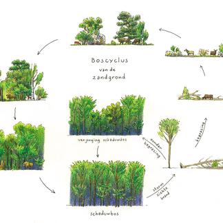 Boscyclus zandgrond