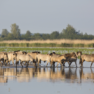 Konikpaarden in het water. Foto: Edwin Rem, Nature in Stock