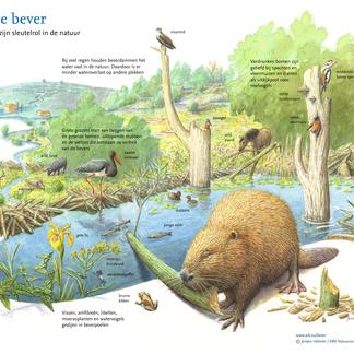 De bever en zijn sleutelrol in de natuur