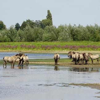 Konikpaarden bij de Grensmaas (Foto: Twan Teunissen)