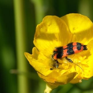 Behaarde bijenwolf op bloem (Foto Esther Linnartz)