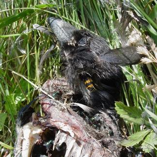 Krompootdoodgraver op dode zwarte kraai, dood doet leven