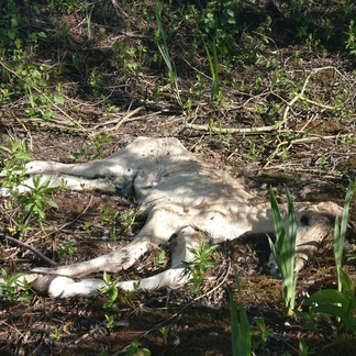 Doodgeboren konikveulen dat niet kan worden verwijderd wordt opgenomen in de natuur
