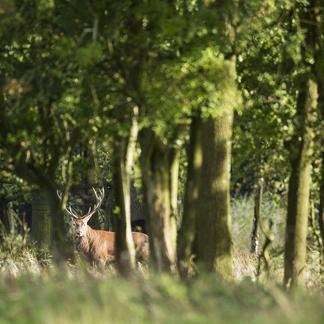 Edelhert in het bos. Foto: Bob Luijks