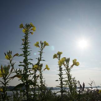 Struinen door zeeën van bloemen op de oevers van de Waal