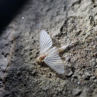 Schoraas - Zomersneeuw - Ephoron virgo 11 augustus 2015