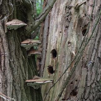 Oud ooibos is rijk aan paddenstoelen en holbewoners